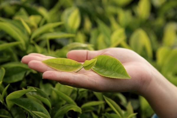 Tea Tree a favor da saúde