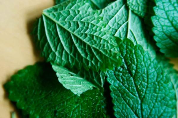 Erva-cidreira combate ansiedade, insônia e oleosidade da pele