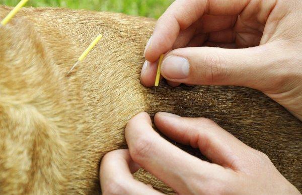 Acupuntura Veterinária traz saúde aos animais