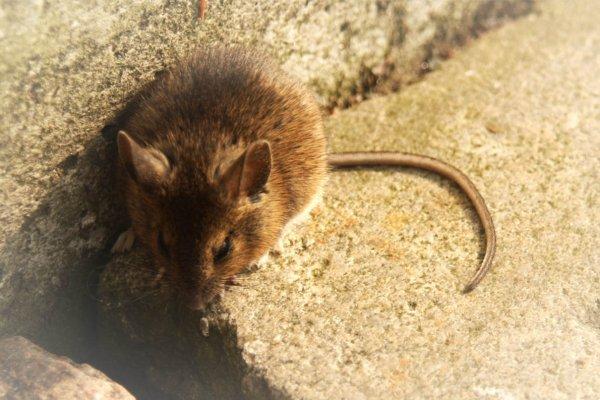 O que significa sonhar com rato?