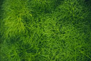 óleo essencial de erva-doce