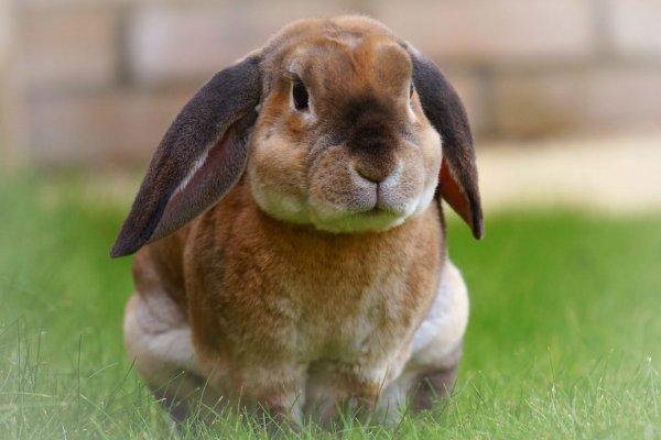 O que significa sonhar com coelho?