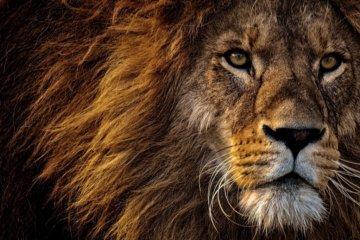 Sonhar com leão: o que significa?