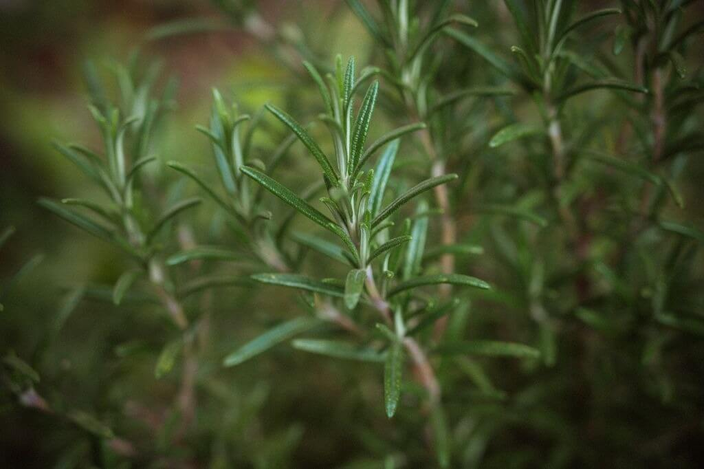 Guia de plantas e ervas para proteger energia