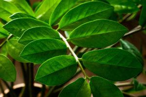 Zamioculcas-planta-prosperidade