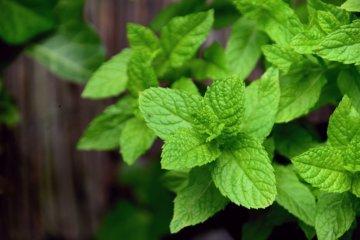 Óleo essencial de hortelã: para que serve e como usar
